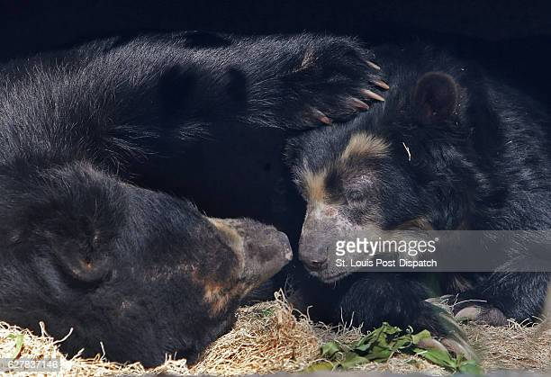 The female Andean bear has benefitted from research done on old frozen samples that helped diagnose the living bears' allergies on Tuesday, Nov. 15...