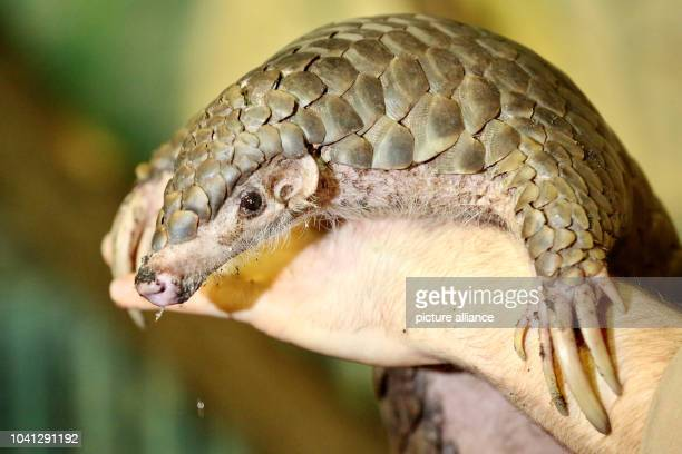 The female pangolin Quesan clambers onto a zookeeper's hand in the zoo in Leipzig Germany 01 February 2017 Pangolins are the most commonly smuggled...