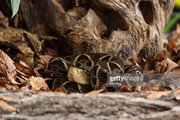 The Ferdelance Bothrops asper is a large aggressive pit viper and ranges from southern Mexico to Colombia Venezuela and Ecuador It is the most...