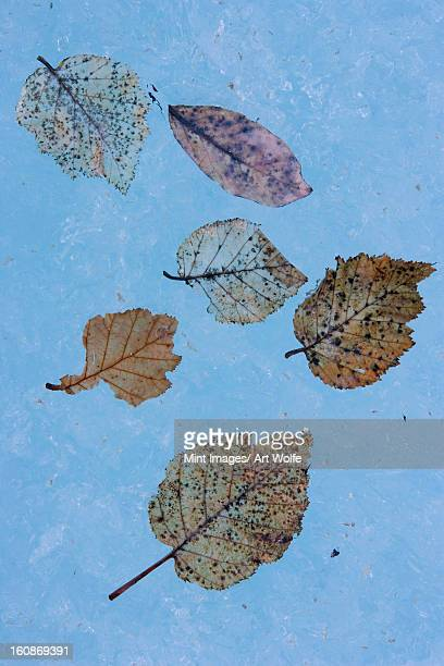 The fibrous skeletons of willow and alder leaves on an icy surface in Alaska.