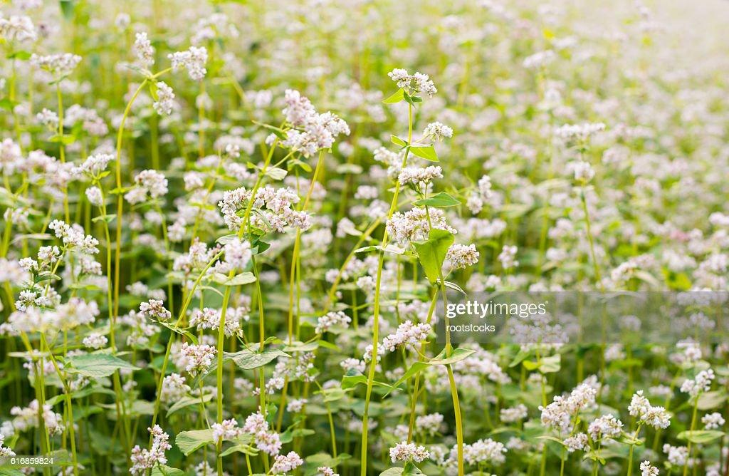 The field of blooming buckwheat : Stock Photo