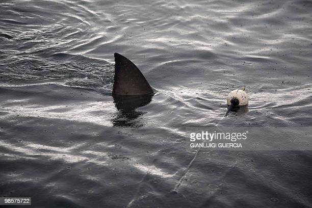 The fin of great white shark is seen as it swims for a dead tuna used as a bait during a shark cage diving tour on March 30 2010 in the waters of...
