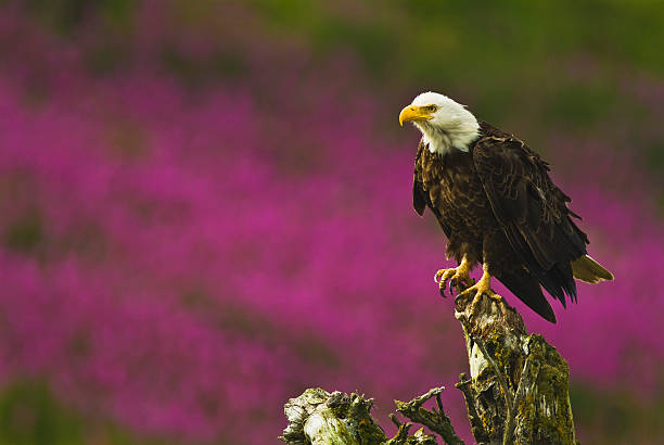 The Fireweed (Epilobium Leucocephalus) In The Background Accentuates This Scene Of A Bald Eagle (Haliaeetus Leucocephalus) Perched On A Tree Trunk Wall Art