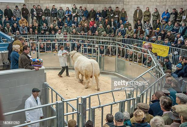 CONTENT] The first animal through the ring at the new Welshpool Livestock Market Selling a Charolais beef bull