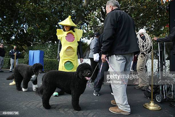 The first family's dogs Bo and Sunny are taken for a walk prior to a Halloween event at the South Lawn of the White House October 30 2015 in...