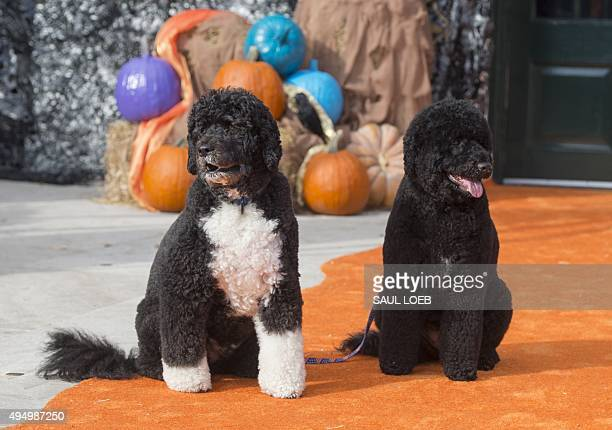 The First Family's dogs Bo and Sunny pose for photos on the South Lawn of the White House in Washington DC October 30 as the White House prepares to...