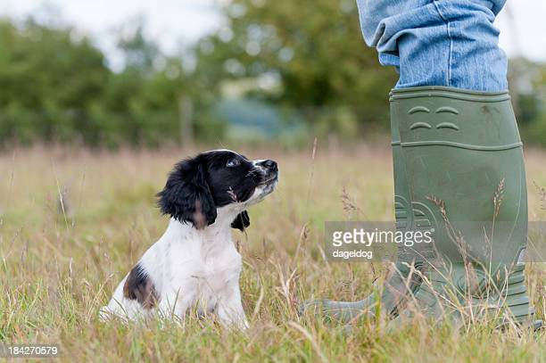 the first lesson! - springer spaniel stock pictures, royalty-free photos & images