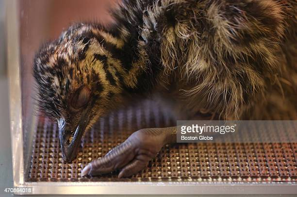 The first of seven emu chicks to hatch in Harvard University's Natural History Museum on April 23 2015
