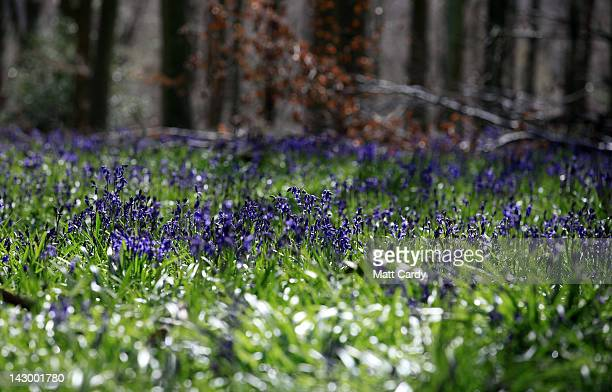 18 Bluebells Flower As Their Season Is Shortened Due To The Drought