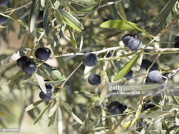 The first plane of a branch of olive tree with mature olives ready to harvest