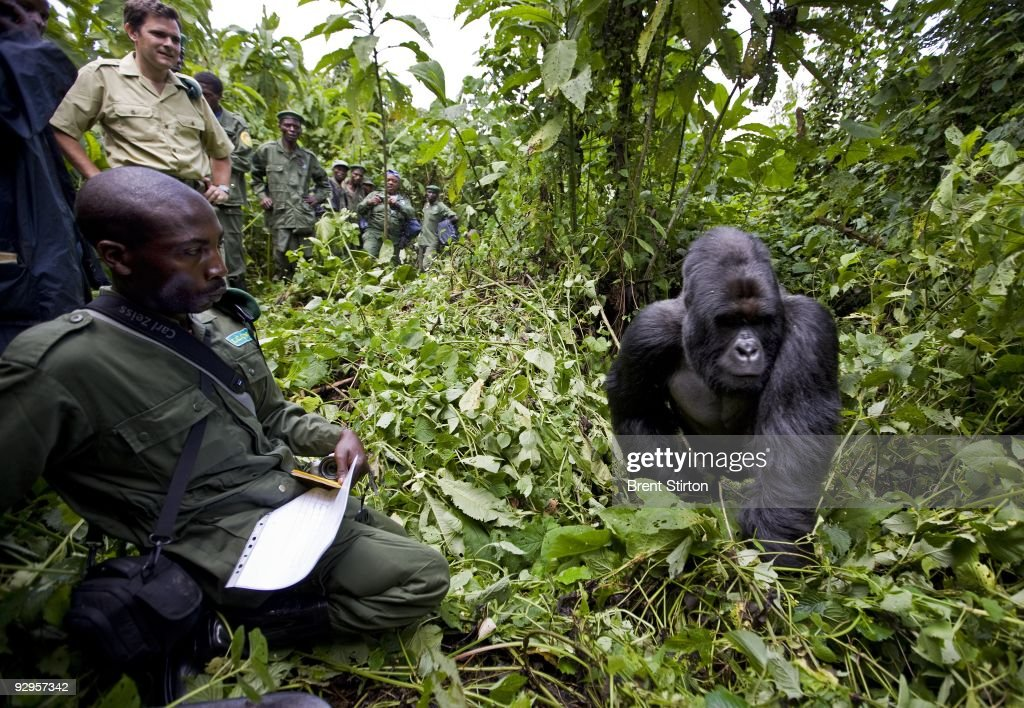 The first sighting of Mountain Gorilla by Congolese Conservation Authorities in over 15 months, North Kivu, DRC, November 25, 2008. There appear to be at least 5 new births in the Kabirizi family. The Gorilla Sector of the Park has been occupied by the rebel movement CNDP under rebel Congolese Tutsi General Laurent Nkunda. Since September 2007 no ICCN Ranger has set foot in this sector, almost all had to flee the fighting and it has not been safe to return. Recent violence in the region has seen CNDP extend its power in the region and it now controls over 50% of the park and all of the Southern section. Emmanuel De Merode, the Director of Virunga National Park, has performed some remarkable diplomacy since the recent fighting and has succesfully negotiated with CNDP and General Nkunda to return the ICCN Rangers to the Park. This is a fragile process but so far 120 courageous Rangers are back at the Southern Headquarters at Rumangabo and there is a camp in the Gorilla Sector at Bukima which has begun a Gorilla census to determine the effects of the war on the mountain Gorilla population. It is a remarkable case of conservation winning out over politics. The DRC had just over 200 of the extremely rare mountain Gorillas, of which there are only 680 in the world.