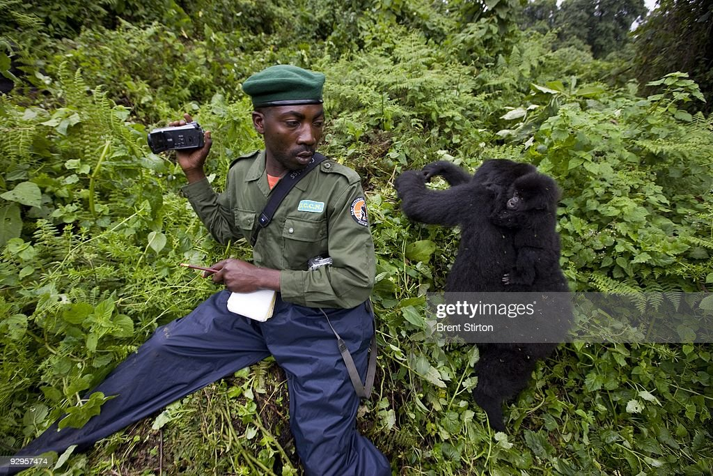 The first sighting of Mountain Gorilla by Congolese Conservation Authorities in over 15 months, November 25, 2008. There appear to be at least 5 new births in the Kabirizi family. The Gorilla Sector of the Park has been occupied by the rebel movement CNDP under rebel Congolese Tutsi General Laurent Nkunda. Since September 2007 no ICCN Ranger has set foot in this sector, almost all had to flee the fighting and it has not been safe to return. Recent violence in the region has seen CNDP extend its power in the region and it now controls over 50% of the park and all of the Southern section. Emmanuel De Merode, the Director of Virunga National Park, has performed some remarkable diplomacy since the recent fighting and has succesfully negotiated with CNDP and General Nkunda to return the ICCN Rangers to the Park. This is a fragile process but so far 120 courageous Rangers are back at the Southern Headquarters at Rumangabo and there is a camp in the Gorilla Sector at Bukima which has begun a Gorilla census to determine the effects of the war on the mountain Gorilla population. It is a remarkable case of conservation winning out over politics. The DRC had just over 200 of the extremely rare mountain Gorillas, of which there are only 680 in the world.