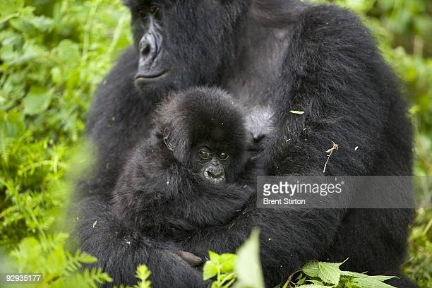 The first sighting of new Mountain Gorilla babies in the family of Kabirizi November 25 2008 There appear to be at least 5 new births in the family...