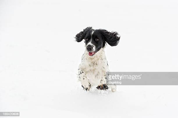 the first snow - spaniel stock photos and pictures
