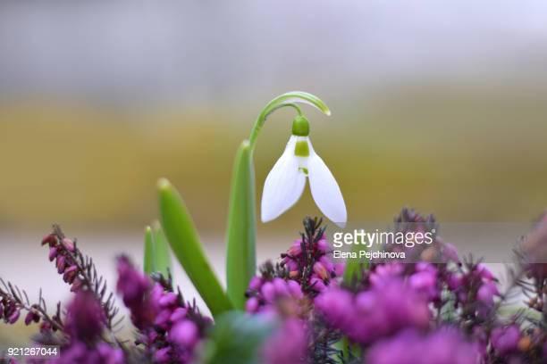 the first snowdrop - elena blume stock-fotos und bilder