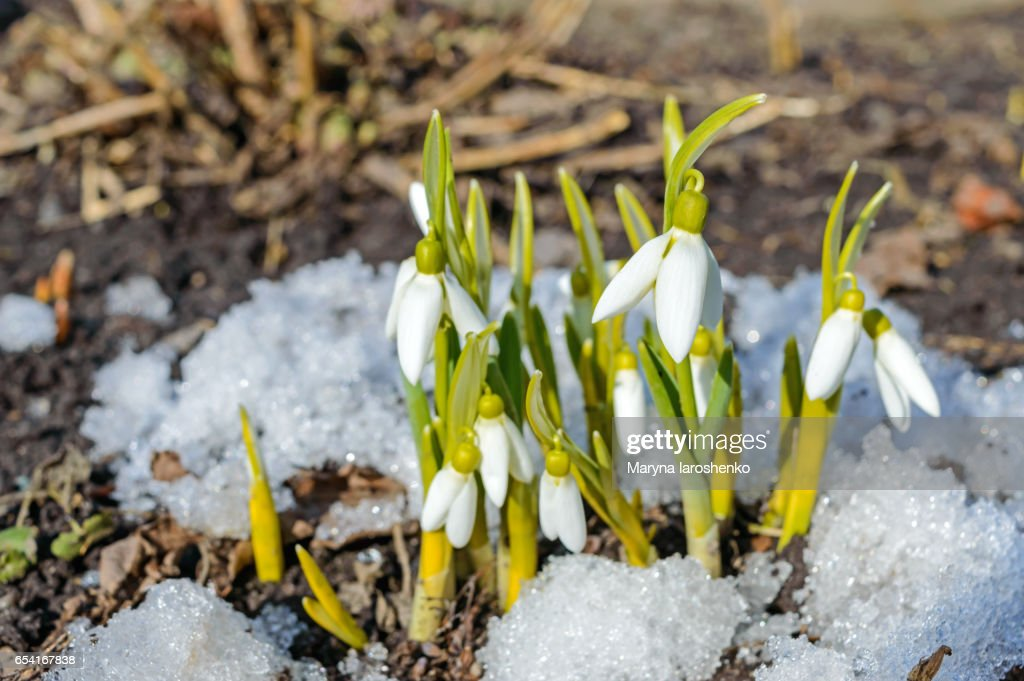 The First Spring Flowers Snowdrops In The Snow On The Nature The