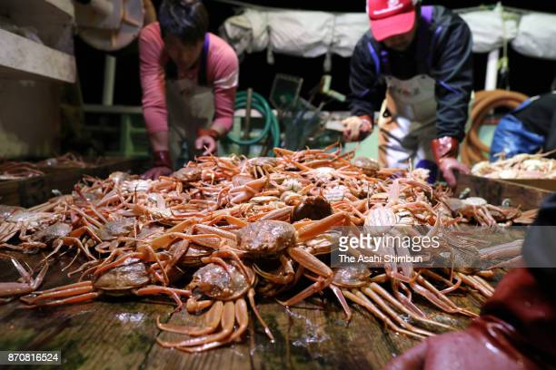 The first 'zuwaigani' snow crabs of the season are caught in the early morning in the Sea of Japan on November 6 2017 in Toyooka Hyogo Japan The...