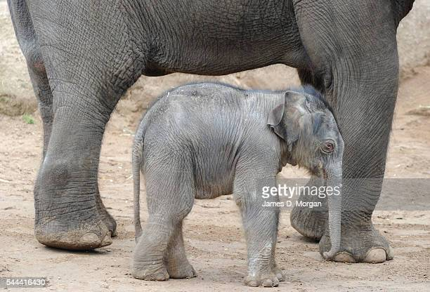 The firstever male elephant calf has been born Asian elephant Kulab gave birth to a male calf yet unnamed on 10th September 2010 in Melbourne...