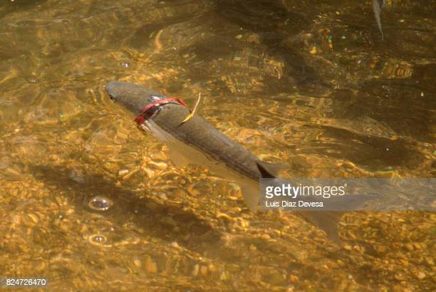 the fish has a red ring on the neck that will prevent him grow. - environmental damage stock pictures, royalty-free photos & images