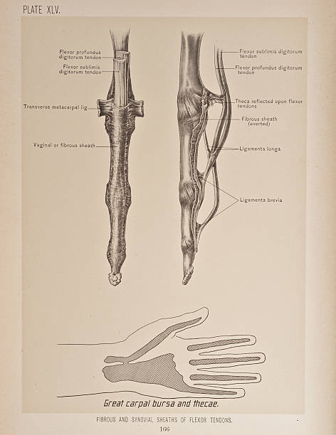 Fibrous Synovial Sheaths Of Flexor Tendons Pictures Getty Images