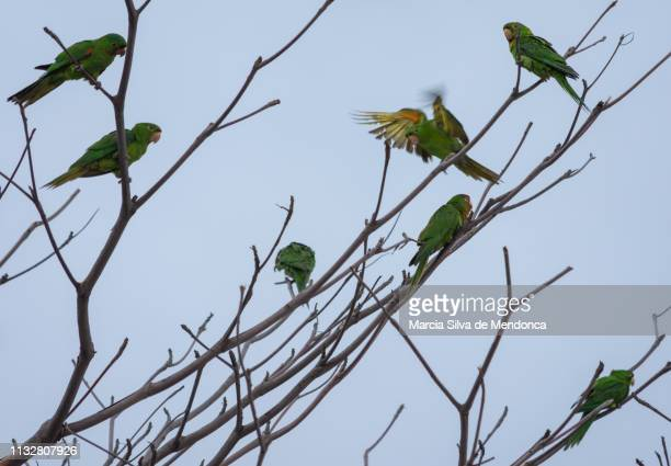 The flight of one of the maracanã parrots, which are in several dry branches, of a tree.