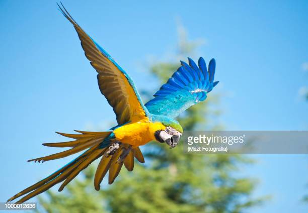 the flight of the macaw - parrot stock pictures, royalty-free photos & images
