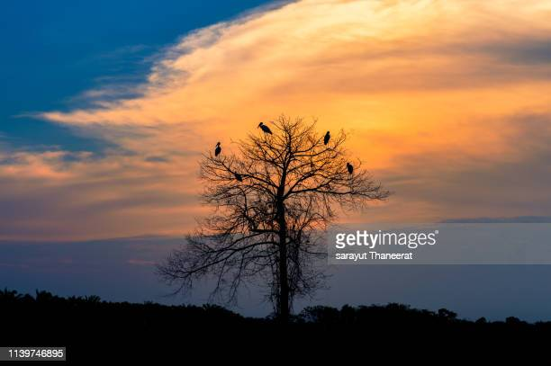 the flock of birds lay on dead trees in the evening, golden clouds - dead raven stock photos and pictures
