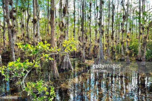 the florida everglades, bald cypress trees, tropical wetlands, big cypress preserve - 落羽松 ストックフォトと画像