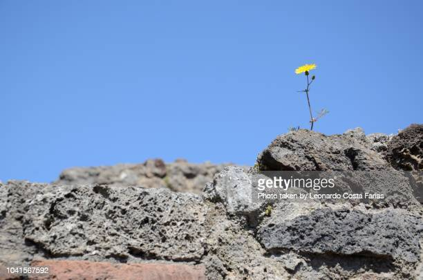 the flower in the ashes - leonardo costa farias stock photos and pictures