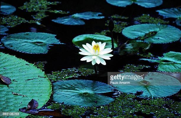 The flower Vitoria Regia in Amazon