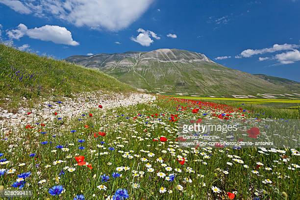 the flowering of castelluccio di norcia - castelluccio stock photos and pictures