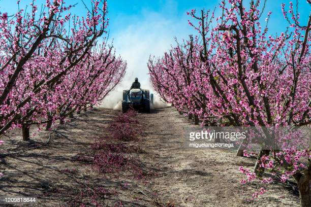 the flowering of fruit trees in southeastern spain -different varieties of peaches color the field. - miguelangelortega fotografías e imágenes de stock