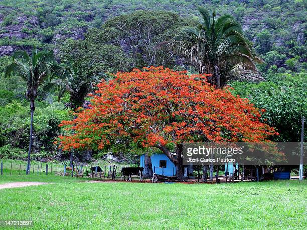 The flowery flamboyant lends his beauty to the small rural property