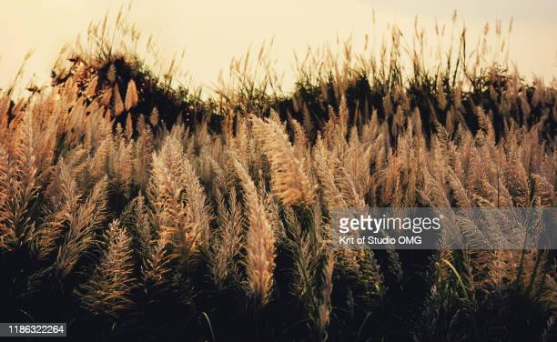 the fluffy flowers of reed - reed grass family stock pictures, royalty-free photos & images