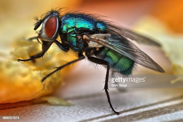 the fly - housefly stock pictures, royalty-free photos & images