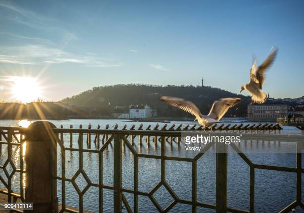 the flying birds and sunset moment in prague, czech republic - vsojoy stock pictures, royalty-free photos & images
