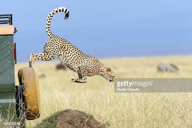 The Flying Cheetah of Mara