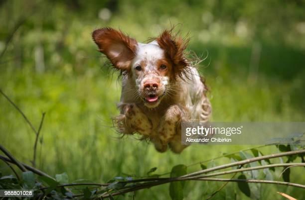 the flying dog - spaniel - fotografias e filmes do acervo
