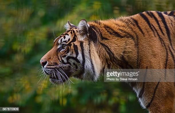 the focus of a tiger - sumatran tiger stock pictures, royalty-free photos & images