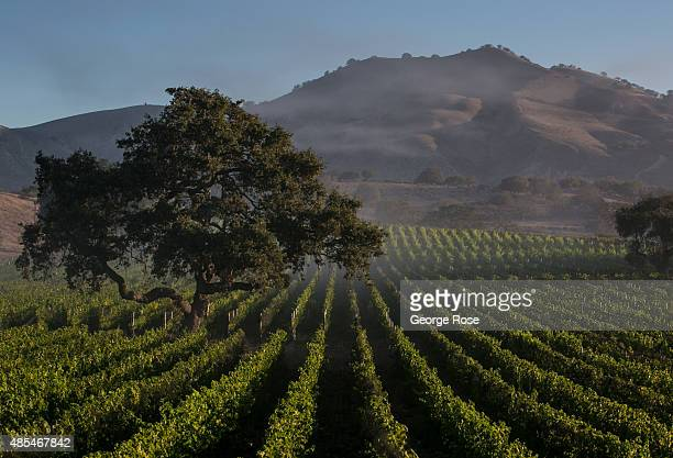 The fog begins to burn off in a vineyard at Zaca Mesa Winery on August 18 near Los Olivos California Because of their close proximity to Southern...