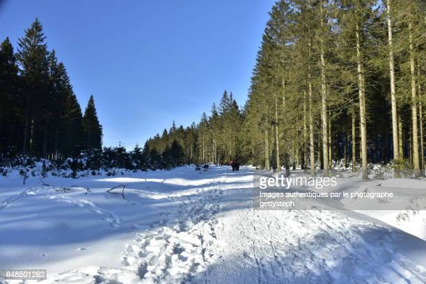 The footpath between coniferous trees and glade under snow