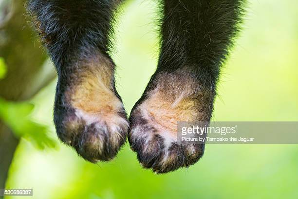 The forepaws of a red panda