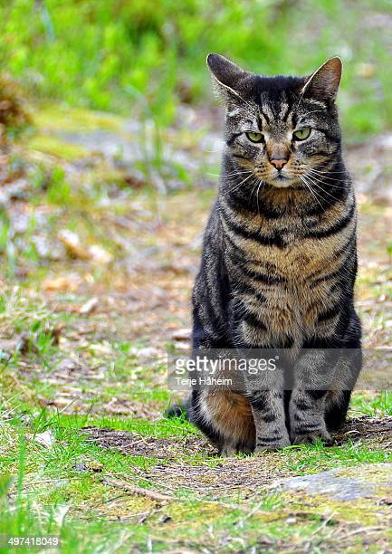 The Forest Cat