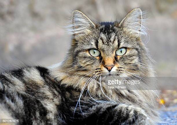 the forest cat - norwegian forest cat stock photos and pictures