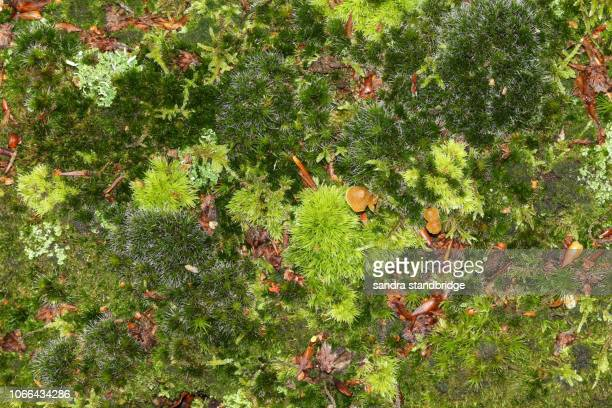 the forest floor in the uk in autumn covered in lush green moss and a few tiny toadstools. - forest floor stock photos and pictures