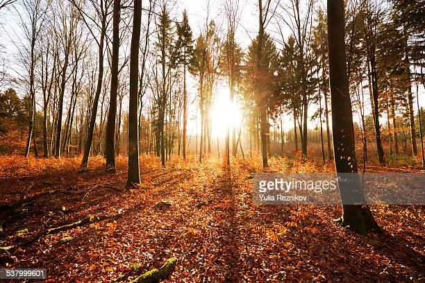 The forest in autumn at sunset