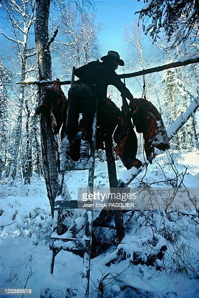 The forest people in Alaska United States Mike Schmeidbauer hanging pieces of moose in the forest to keep them away from wolves