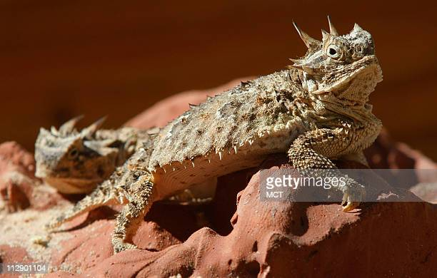 The Fort Worth Zoo shows off Texas's horned lizards, on Thursday, September 4, 2008. In late July and early August the Zoo had 26 new baby lizards,...
