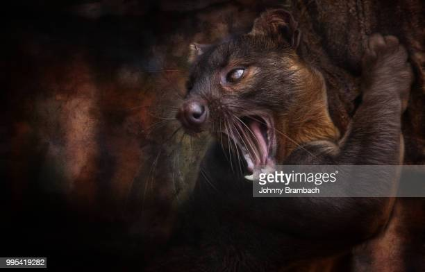 the fossa or the cryptoprocta feroxas - fossa stock photos and pictures
