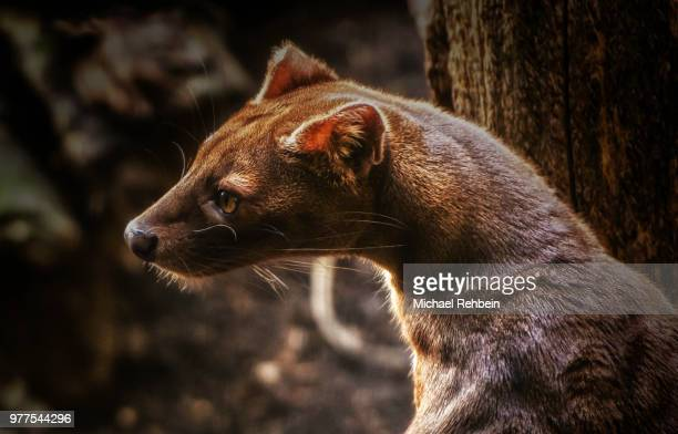 the fossa - fossa stock photos and pictures